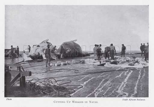 Cutting up whales in Natal. Illustration for The Raw Materials of Commerce by J Henry Vanstone (Pitman, 1929).