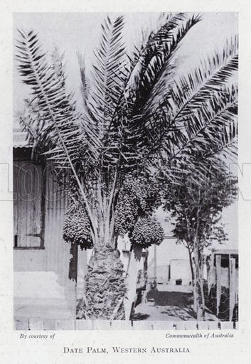 Date palm, Western Australia. Illustration for The Raw Materials of Commerce by J Henry Vanstone (Pitman, 1929).