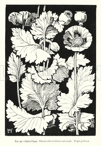 Opium Poppy; Flowers white to crimson and purple; Height 30 inches. Illustration for A Book of Studies in Plant Form with some Suggestions for their Application to Design by A E V Lilley and W Midgley (Chapman and Hall, 1900).