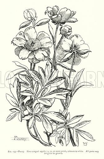 Peony; Five unequal sepals; 5, 10, or more petals, crimson to white; All parts very irregular in growth. Illustration for A Book of Studies in Plant Form with some Suggestions for their Application to Design by A E V Lilley and W Midgley (Chapman and Hall, 1900).