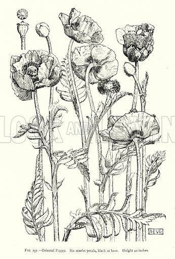 Oriental Poppy; Six scarlet petals, black at base; Height 40 inches. Illustration for A Book of Studies in Plant Form with some Suggestions for their Application to Design by A E V Lilley and W Midgley (Chapman and Hall, 1900).