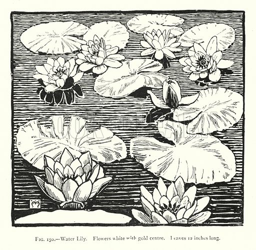 Water Lily; Flowers white with gold centre; leaves 12 inches long. Illustration for A Book of Studies in Plant Form with some Suggestions for their Application to Design by A E V Lilley and W Midgley (Chapman and Hall, 1900).