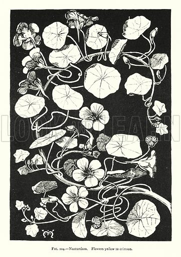 Nasturtium; Flowers yellow to crimson. Illustration for A Book of Studies in Plant Form with some Suggestions for their Application to Design by A E V Lilley and W Midgley (Chapman and Hall, 1900).