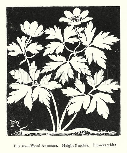 Wood Anemone; Height 8 inches; Flowers white. Illustration for A Book of Studies in Plant Form with some Suggestions for their Application to Design by A E V Lilley and W Midgley (Chapman and Hall, 1900).