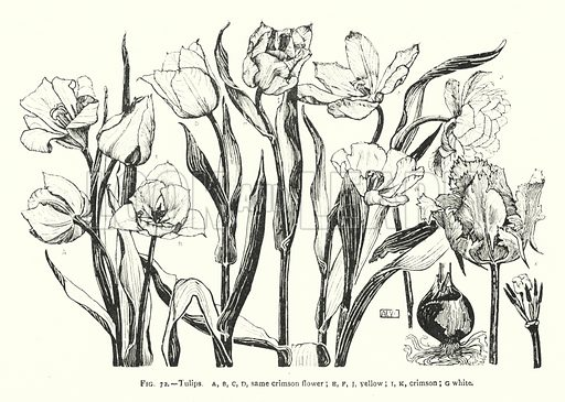 Tulips; same crimson flower; yellow; crimson; white. Illustration for A Book of Studies in Plant Form with some Suggestions for their Application to Design by A E V Lilley and W Midgley (Chapman and Hall, 1900).