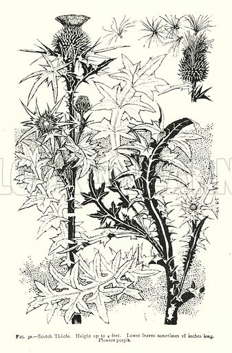 Scotch Thistle; Height up to 4 feet; Lower leaves sometimes 18 inches long; Flowers purple. Illustration for A Book of Studies in Plant Form with some Suggestions for their Application to Design by A E V Lilley and W Midgley (Chapman and Hall, 1900).