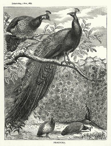 Peacocks. Illustration for The Infant's Magazine (1867).