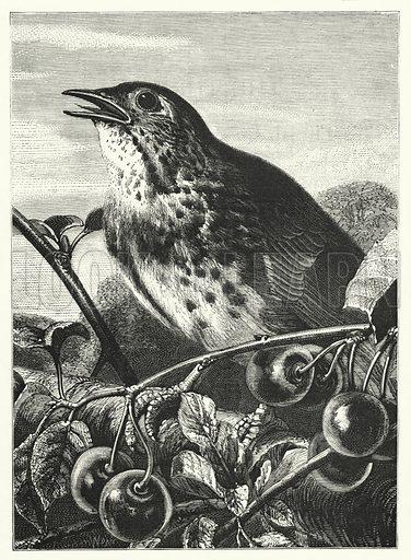 Thrush. Illustration for The Infant's Magazine (1869).