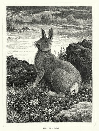 The Timid Hare. Illustration for The Infant's Magazine (1871).