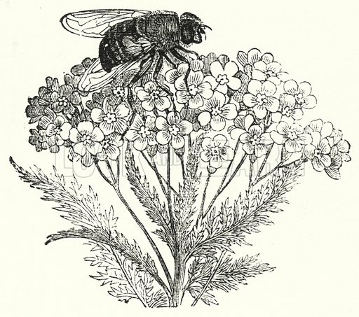 Bee on flower. Illustration for The Infant's Magazine (1877).