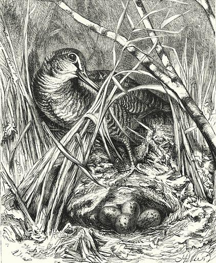 Snipe and Nest. Illustration for The Infant's Magazine (1884).