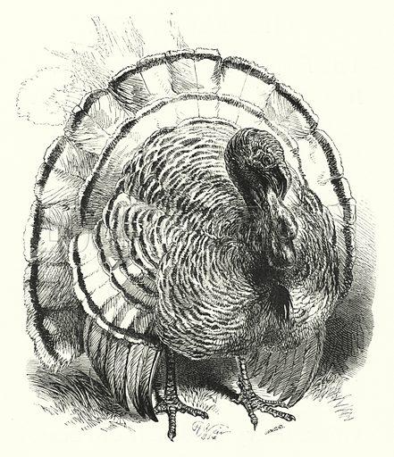 Turkey-Cock. Illustration for The Infant's Magazine (1886).