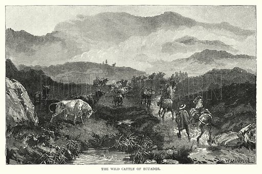 The Wild Cattle of Ecuador. Illustration for The Leisure Hour (1892).