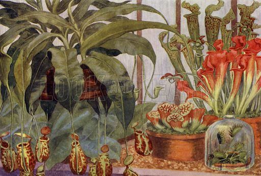 """Insect-eating plants. Illustration for A Nursery Book of Science by """"The Cockiolly Bird"""" (T Nelson, c 1920)."""