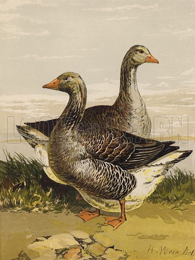 Toulouse Geese. Illustration for The Poultry Book by W B Tegetmeier (George Routledge, 1873).