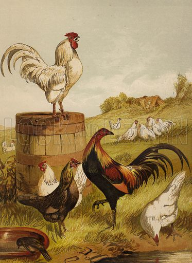 White and Game Bantams. Illustration for The Poultry Book by W B Tegetmeier (George Routledge, 1873).