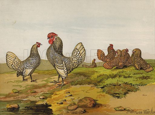 Gold and Silver Laced Bantams. Illustration for The Poultry Book by W B Tegetmeier (George Routledge, 1873).