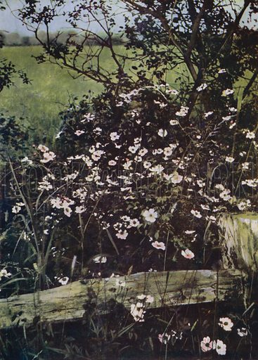 Field Roses. Illustration for Hutchinson's Trees and Flowers of the Countryside by Edward Step (Hutchinson, c 1930).