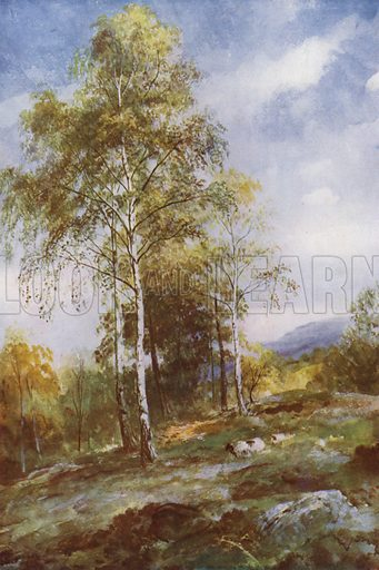Silver Birches. Illustration for Hutchinson's Trees and Flowers of the Countryside by Edward Step (Hutchinson, c 1930).