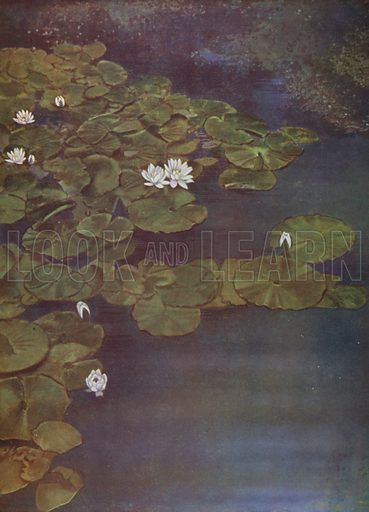 White Water-Lilies. Illustration for Hutchinson