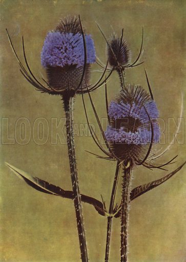 Teasel. Illustration for Hutchinson's Trees and Flowers of the Countryside by Edward Step (Hutchinson, c 1930).