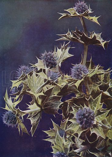 Sea Holly. Illustration for Hutchinson's Trees and Flowers of the Countryside by Edward Step (Hutchinson, c 1930).