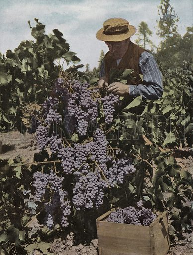 Rogue River Valley Grapes. Illustration for a booklet about Oregon The Land of Opportunity (Portland Chamber of Commerce, 1911).