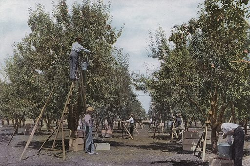 Picking Fruit in a Rouge River Valley Orchard. Illustration for a booklet about Oregon The Land of Opportunity (Portland Chamber of Commerce, 1911).