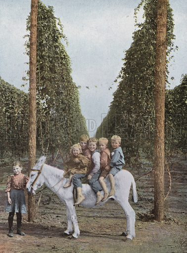 Hops in Willamette Valley. Illustration for a booklet about Oregon The Land of Opportunity (Portland Chamber of Commerce, 1911).