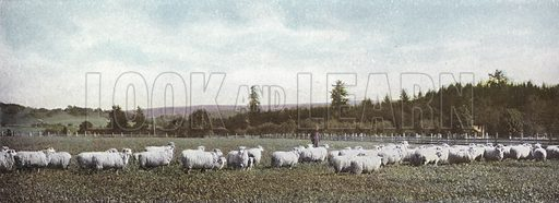 Sheep in Oregon. Illustration for a booklet about Oregon The Land of Opportunity (Portland Chamber of Commerce, 1911).