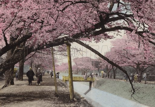 Cherry Blossom at Koganei, near Tokyo. Illustration for Selected Pictures of Mikado's Empire, Fine Souvenir for Visit to Japan, Coloured by Hand (np, c 1912).