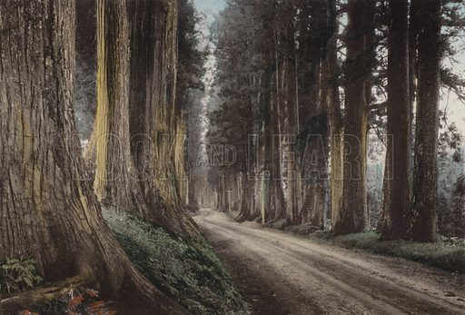 Cryptomeria Road, Nikko. Illustration for Selected Pictures of Mikado's Empire, Fine Souvenir for Visit to Japan, Coloured by Hand (np, c 1912).