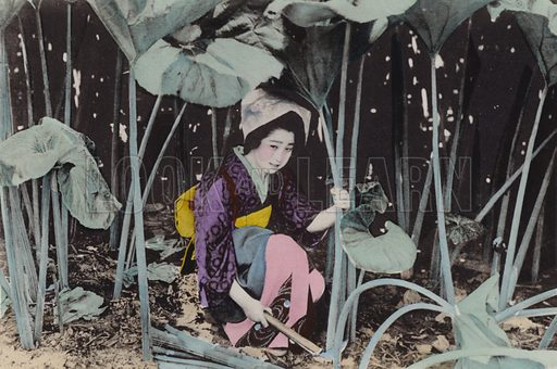 Enormous Bog-rhubarb, wild plant, Akita. Illustration for Selected Pictures of Mikado's Empire, Fine Souvenir for Visit to Japan, Coloured by Hand (np, c 1912).