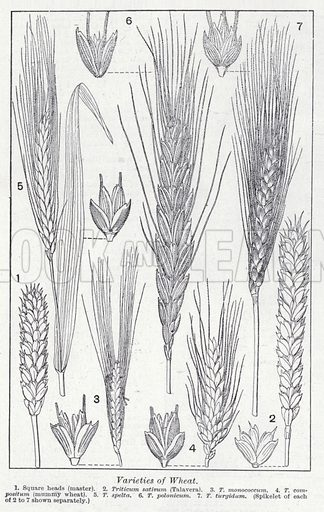 Varieties of wheat. Illustration for The Harmsworth Encylopaedia (c 1922).