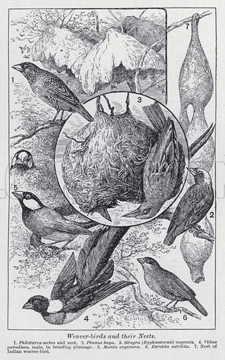 Weaver-birds and their nests. Illustration for The Harmsworth Encylopaedia (c 1922).