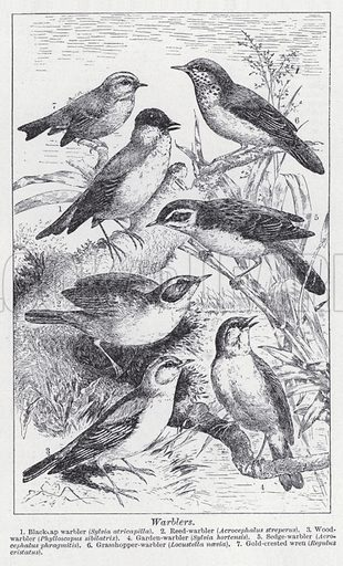 Warblers. Illustration for The Harmsworth Encylopaedia (c 1922).