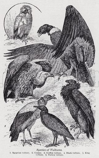 Species of vultures. Illustration for The Harmsworth Encylopaedia (c 1922).