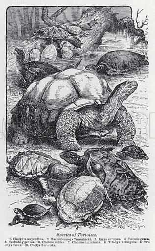 Species of tortoises. Illustration for The Harmsworth Encylopaedia (c 1922).