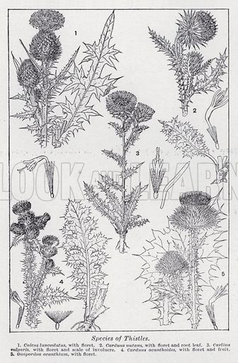 Species of thistles. Illustration for The Harmsworth Encylopaedia (c 1922).