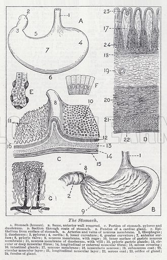 The stomach. Illustration for The Harmsworth Encylopaedia (c 1922).