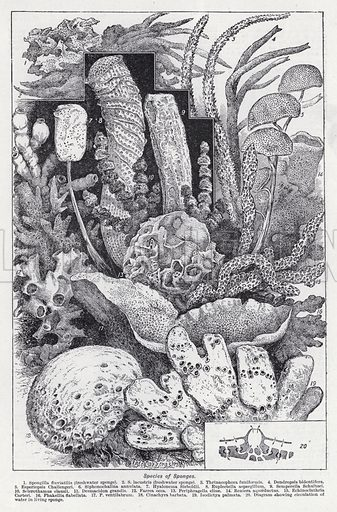 Species of sponges. Illustration for The Harmsworth Encylopaedia (c 1922).