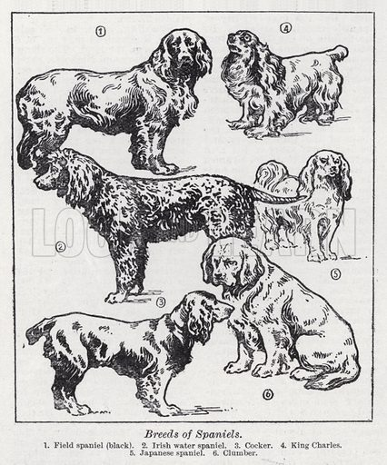 Breeds of spaniels. Illustration for The Harmsworth Encylopaedia (c 1922).