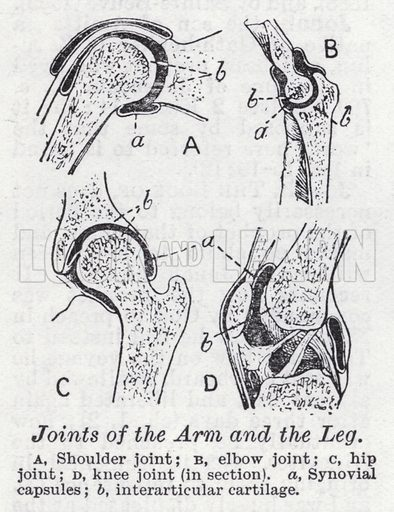 Joints of arm and the leg. Illustration for The Harmsworth Encylopaedia (c 1922).