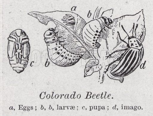 Colorado beetle. Illustration for The Harmsworth Encylopaedia (c 1922).