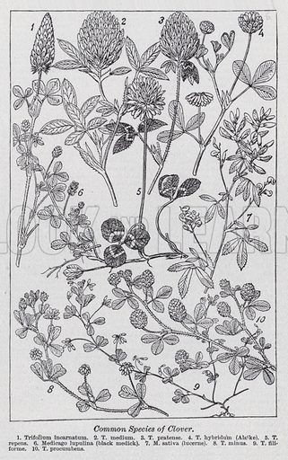 Common species of clover. Illustration for The Harmsworth Encylopaedia (c 1922).
