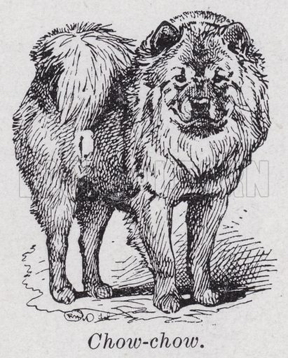 Chow-chow. Illustration for The Harmsworth Encylopaedia (c 1922).