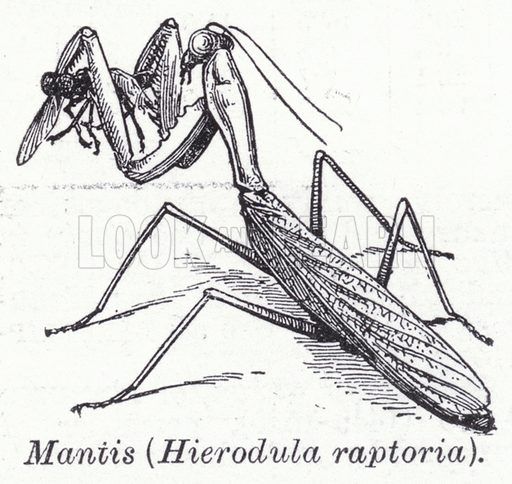 Mantis, Hierodula raptoria. Illustration for The Harmsworth Encylopaedia (c 1922).