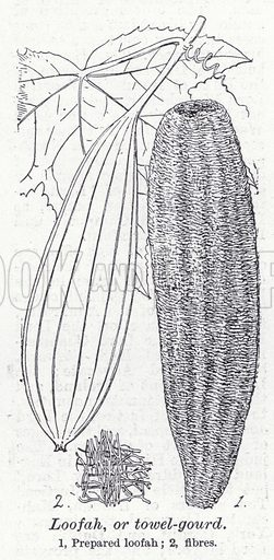 Loofah, or towel-gourd. Illustration for The Harmsworth Encylopaedia (c 1922).