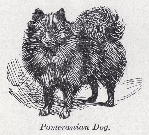 Pomeranian dog. Illustration for The Harmsworth Encylopaedia (c 1922).