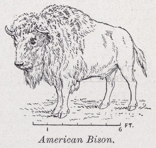 American bison. Illustration for The Harmsworth Encylopaedia (c 1922).